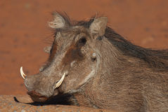 Warthog portrait. Pig-like appearance; grey, sparsely haired body; wart-like lumps on face; thin tail with dark tufted tip held erect when running; curved Stock Photography