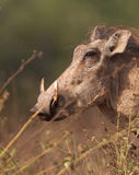 Warthog portrait. A close-up of the impressive head of an adult male Warthog (Phacochoerus africanus) at Shimba Hills nature reserve in Kenya Stock Photography