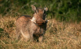 Warthog portrait Royalty Free Stock Images