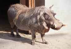 Warthog Stock Photos