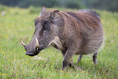 Warthog Portrait. Large warthog with tusks and coarse shaggy hair Stock Images