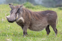 Warthog Portrait. Large warthog with tusks and coarse shaggy hair Royalty Free Stock Photography