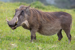 Warthog Portrait. Large warthog with tusks and coarse shaggy hair Stock Image