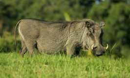 A warthog portrait side on royalty free stock photo