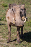 Warthog Portrait. Wathog with sharp tusks and coarse body hair Stock Photography