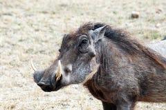 Warthog portrait royalty free stock photos