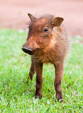 warthog potomstwa Fotografia Royalty Free