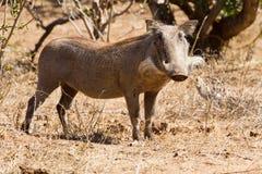 Warthog poza Fotografia Royalty Free