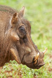 Warthog in profile Stock Images