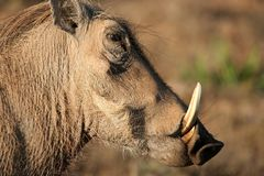 Warthog Profile Royalty Free Stock Photos