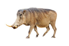 Warthog Profile Isolated. Profile of African warthog walking. Isolated on white stock photography