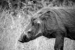Warthog Profile. An old-looking warthog looking into the distance Stock Photo