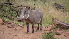 Warthog przy Pilanesberg parkiem narodowym Fotografia Stock