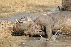 Warthog - przyjęcie Obrazy Stock
