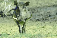 warthog pumba Стоковое Изображение RF