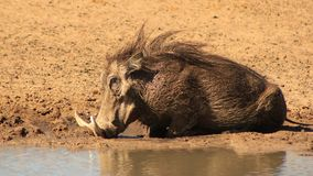 Warthog - Pushing Mud. Adult male Warthog taking a mud bath under the Spring sun.  Photo taken on a game ranch in Namibia, Africa Stock Photography