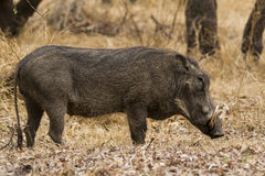 Warthog quiet walking Stock Photo