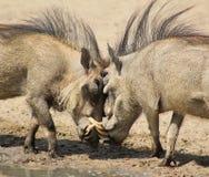 Warthog - randello 1 di lotta Immagini Stock Libere da Diritti
