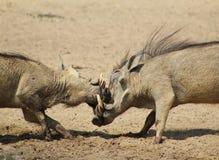 Warthog - randello 2 di lotta Fotografia Stock
