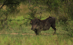 Warthog and a Red-billed oxpecker Stock Photos