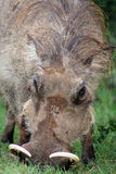 Warthog, retrato foto de archivo