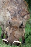 Warthog, ritratto Fotografia Stock