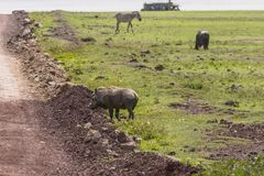 Warthog on the road. One Warthog going through the way in Ngorongoro Crater, Ngorongoro Conservation Area, Tanzania. Africa Stock Images