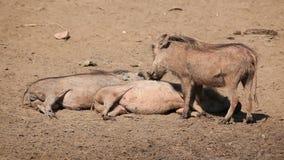 Warthog rodzina Zdjęcie Royalty Free
