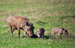 Warthog rodzina na sawannie w Ngorongoro. Tanzania, Afryka. Obrazy Stock