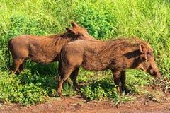 Warthog rodzina przychodził z trawy Safari w parkach narodowych Południowa Afryka obraz stock