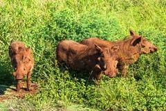 Warthog rodzina przychodził z trawy Safari w parkach narodowych Południowa Afryka obraz royalty free