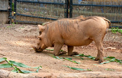 Warthog Rooting in Dirt. A warthog rooting in the dirt and kneeling Stock Image