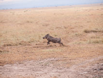Warthog on the Run Stock Photos