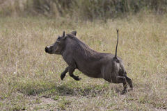 Warthog on the run Royalty Free Stock Photos