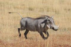 Warthog. A runnig warthog in etosha Royalty Free Stock Photos