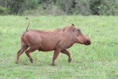 Warthog Running. Running scared warthog with typical erect tail Stock Image