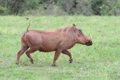 Warthog Running Stock Image