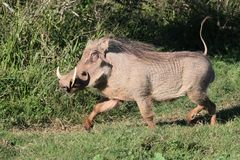 Warthog Running. Male warthog running with it's tail held erect Royalty Free Stock Photography