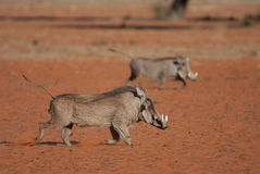 Warthog running. Pig-like appearance; grey, sparsely haired body; wart-like lumps on face; thin tail with dark tufted tip held erect when running; curved, upward Stock Images