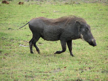 Warthog Running Imagens de Stock