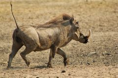 Warthog - Running Hog. Adult male Warthog running from a watering hole on a game ranch in Namibia, Africa Royalty Free Stock Photo