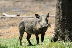 Warthog. Running warthog on the National Park, Kenya Royalty Free Stock Photography