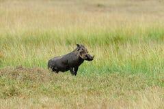 Warthog. Running warthog on the National Park, Kenya Royalty Free Stock Images