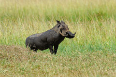 Warthog. Running warthog on the National Park, Kenya Stock Photo