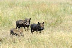 Warthog. Running warthog on the National Park, Kenya Royalty Free Stock Photo