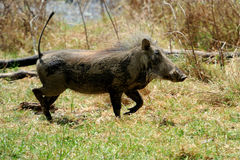 Warthog. Running warthog on the National Park, Kenya, Africa Royalty Free Stock Photography