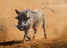 Warthog running Stock Photos