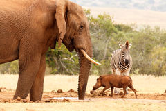 Warthog running pass the Zebra and the Bush Elephant Stock Photos