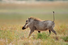Warthog running Royalty Free Stock Image