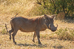 Warthog in Sabi Sands Safari Stock Photography